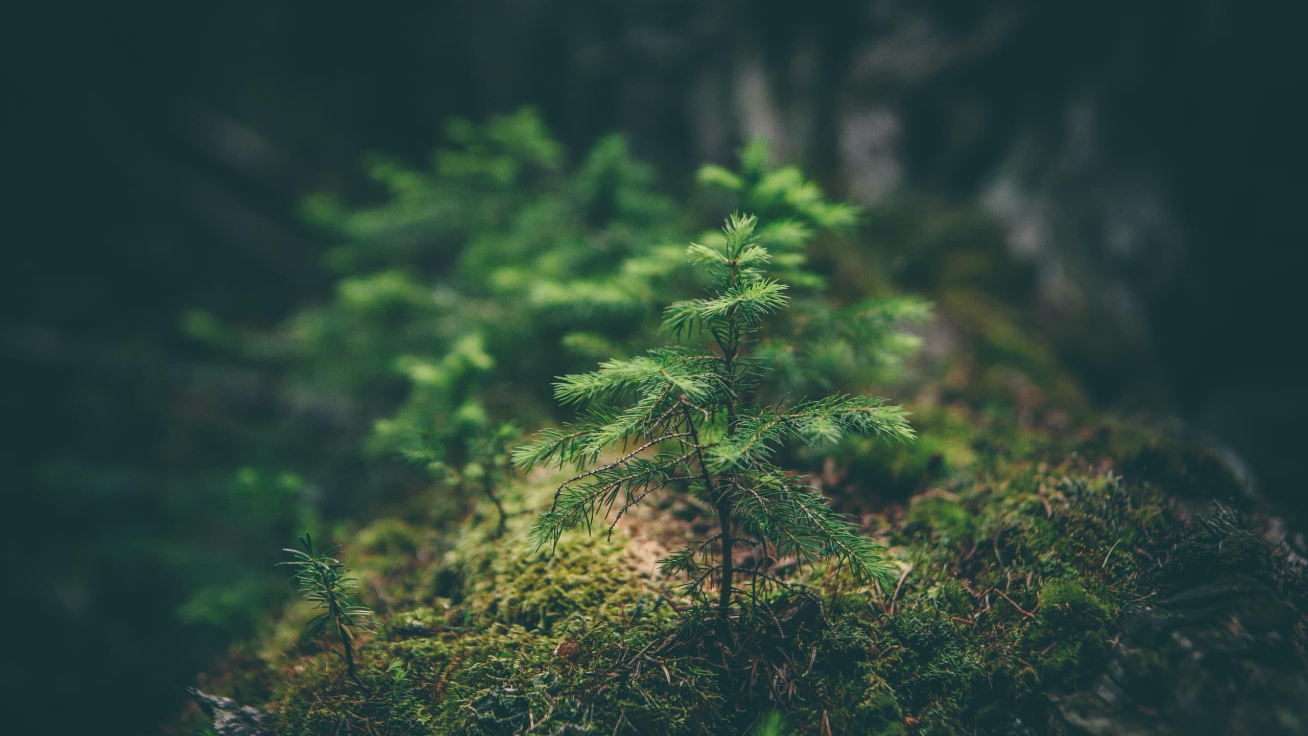 Conifer sapling by Matthew Smith