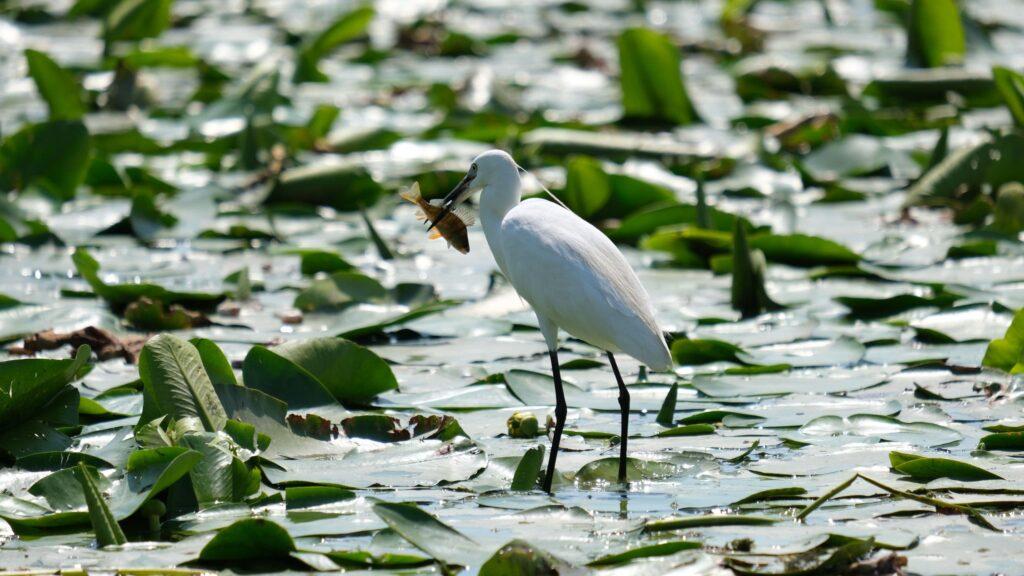 A little egret catching fish